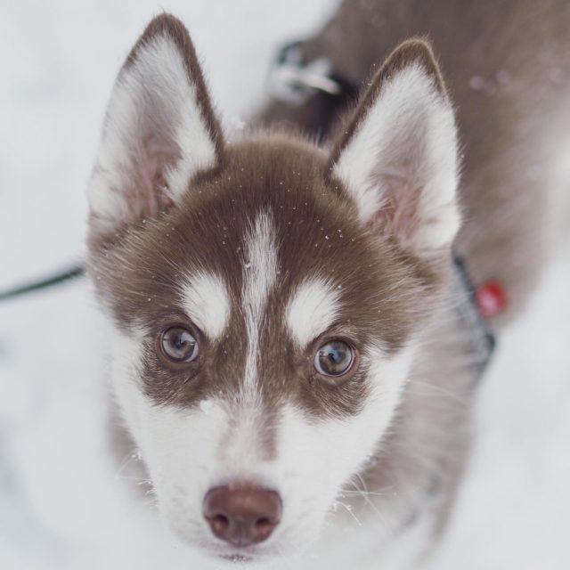 Loki on paljastunut kolmen viikon yhteiselon jälkeen täysin nimensä arvoiseksi. Tää herra on ehdottomasti kujeilun mestari ja sillä on pienet siivet kengissään, kun ehtii kaikkialle, siis ihan kaikkialle!🦊 . . . #loki #siberianhuskylovers #siperianhusky #huskypuppy #hazeleyes #huskylovers #lovingmyhusky #winterwonderland #koiranpentu #tampere #outdoorfinland #outdoorbloggers #lokigod #scandinavianmythology #vaikuttajamedia